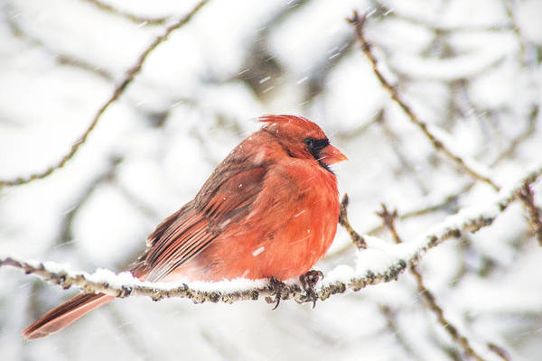 Photograph - Cardinal In Snow by Don Johnson