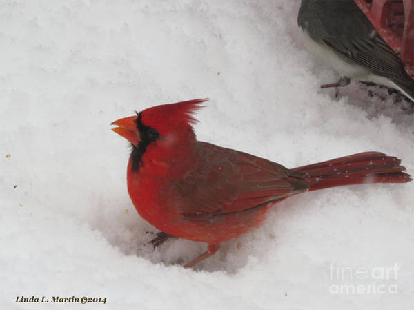 Photograph - Cardinal In Snow by Linda L Martin