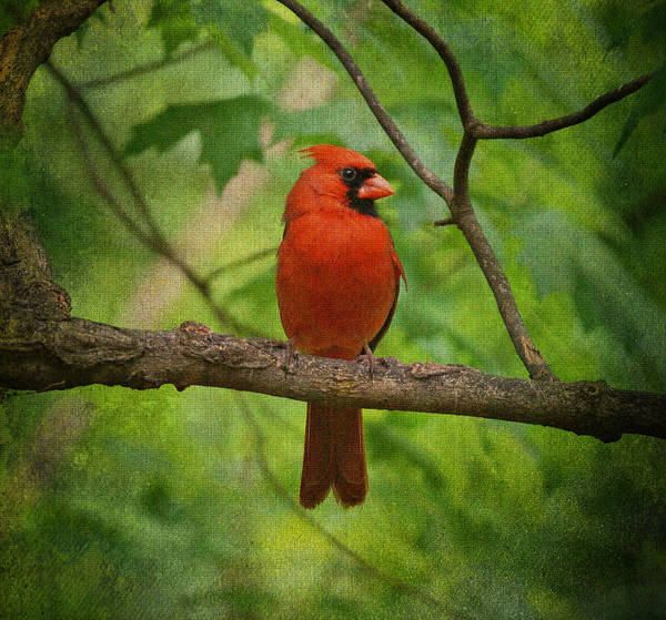 Photograph - Cardinal In Spring by Sandy Keeton