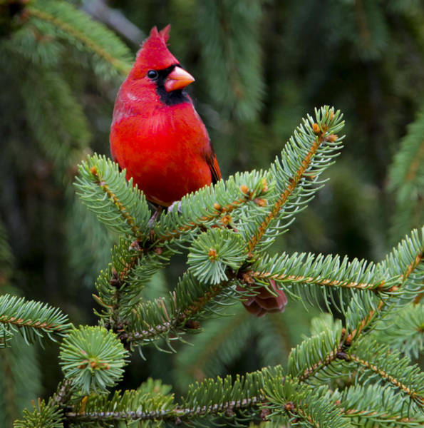 Photograph - Cardinal In The Park by Ricky L Jones