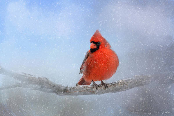 Photograph - Cardinal In The Snow by Jai Johnson