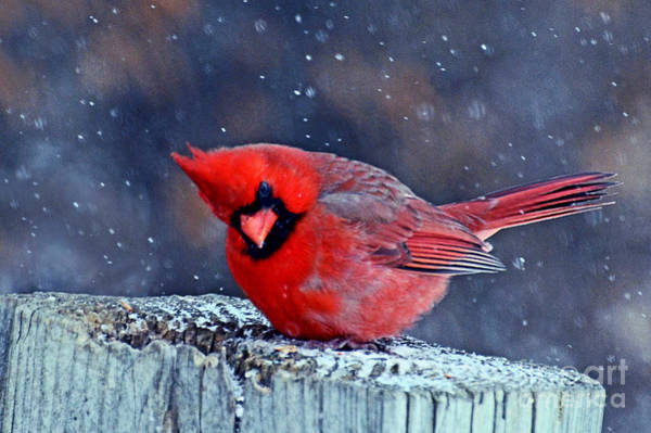 Photograph - Cardinal In The Snow by Rodney Campbell