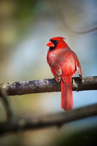 Cardinal In The Sun Of Spring Art Print