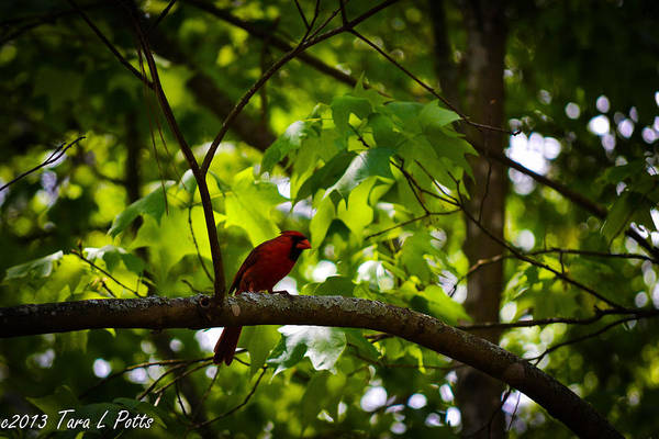 Conyers Photograph - Cardinal In The Trees by Tara Potts