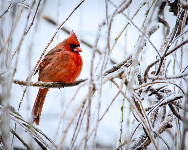 Aviary Photograph - Cardinal In The Willow IIi by Jon Woodhams