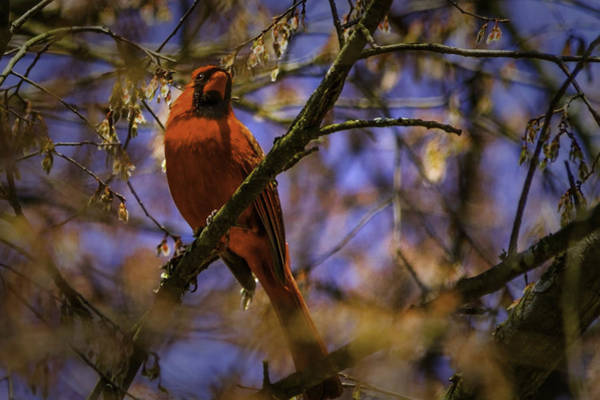 Photograph - Cardinal In Waiting by Barry Jones