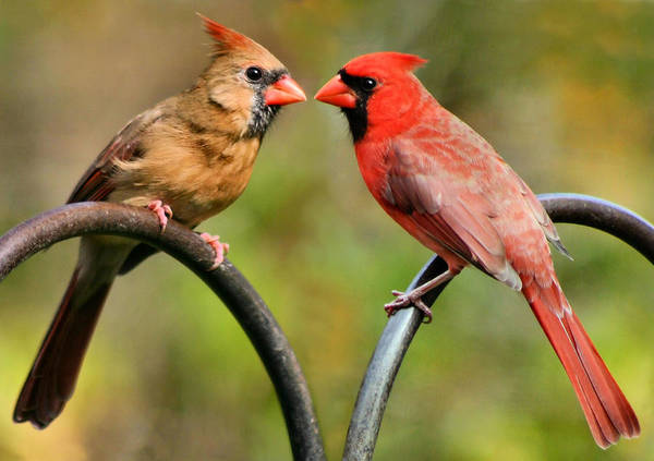 Cardinal Love Art Print