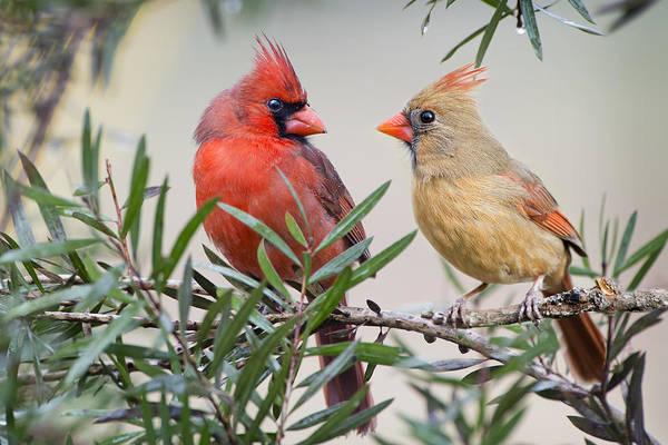 Female Cardinal Photograph - Cardinal Mates by Bonnie Barry