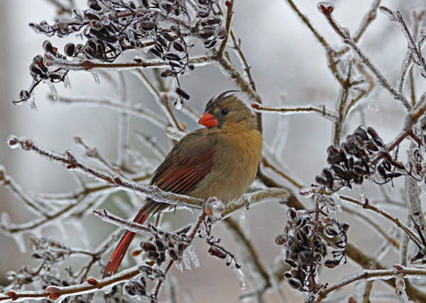 Photograph - Cardinal On Icy Branches by Sandy Keeton