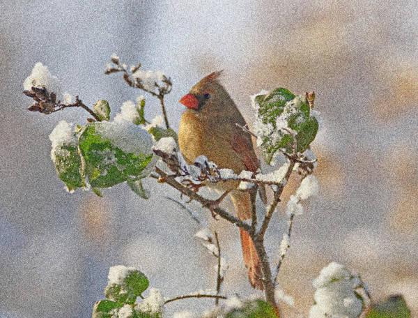 Photograph - Cardinal On Snowy Branch by Sandy Keeton