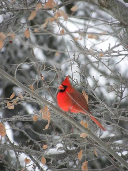 Photograph - Cardinal  by Peggy  McDonald