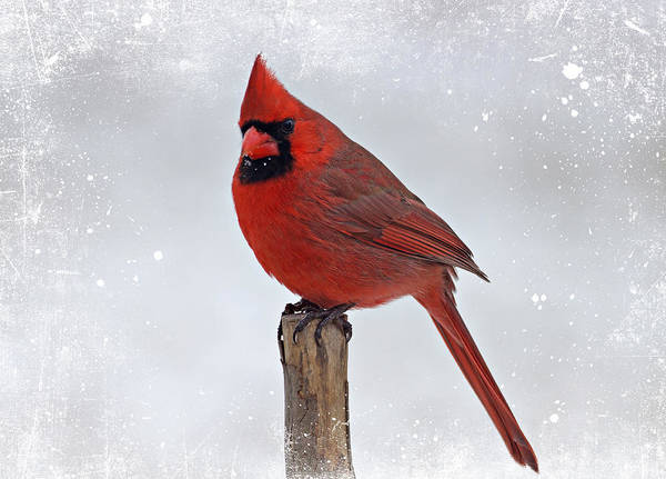 Cardinal Perching Art Print