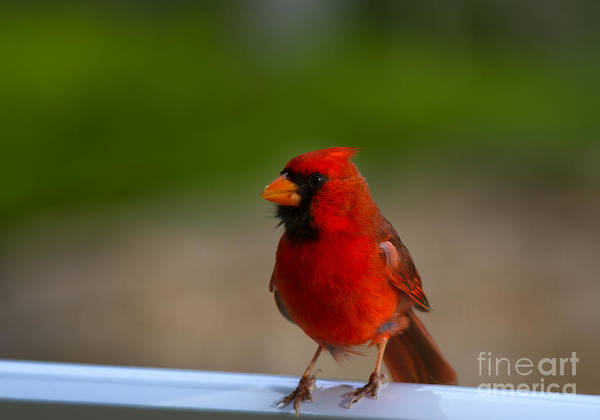 Cardinalis Photograph - Cardinal Red by Mike  Dawson