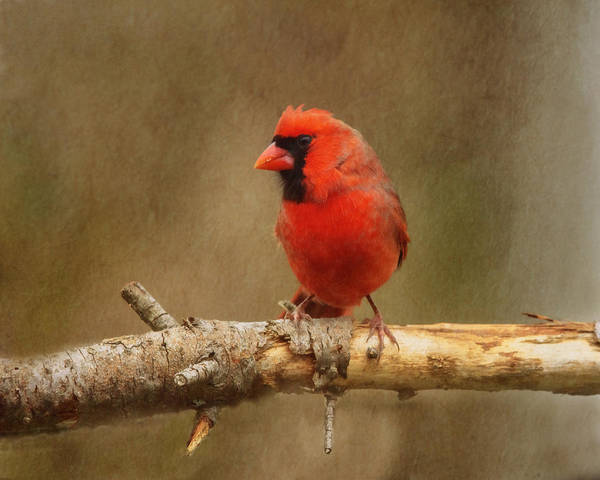Wall Art - Photograph - Cardinal Red by Susan Capuano