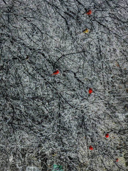 Photograph - Cardinals In An Ice Storm 001 by Lance Vaughn