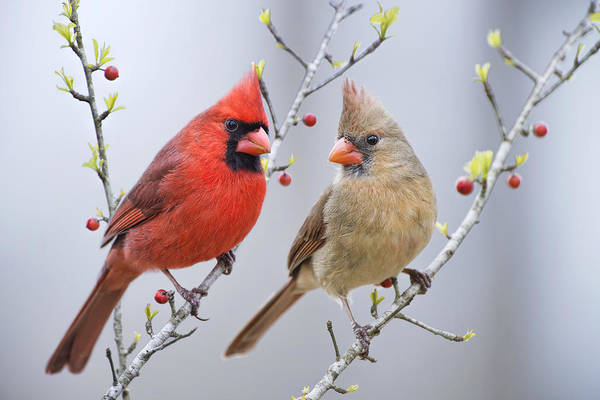 Northern Cardinal Photograph - Cardinals In Early Spring by Bonnie Barry