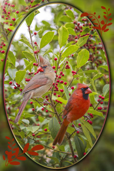 Female Cardinal Photograph - Cardinals In Holly by Bonnie Barry