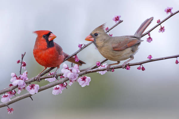 Female Cardinal Photograph - Cardinals In Plum Blossoms by Bonnie Barry