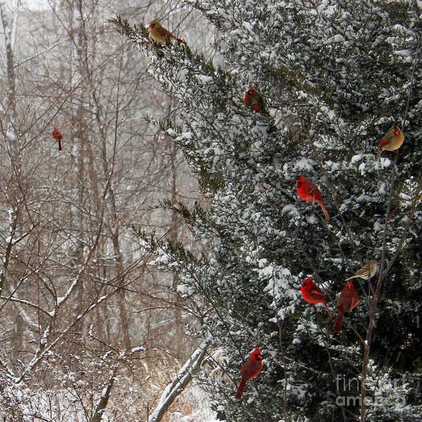 Cardinals In Winter 1 Square Art Print