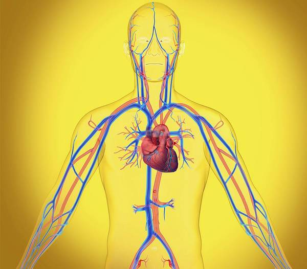 Superior Vena Cava Photograph - Cardiovascular System by Claus Lunau/science Photo Library