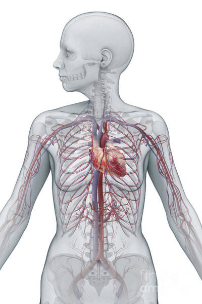 Superior Vena Cava Photograph - Cardiovascular System Female by Science Picture Co