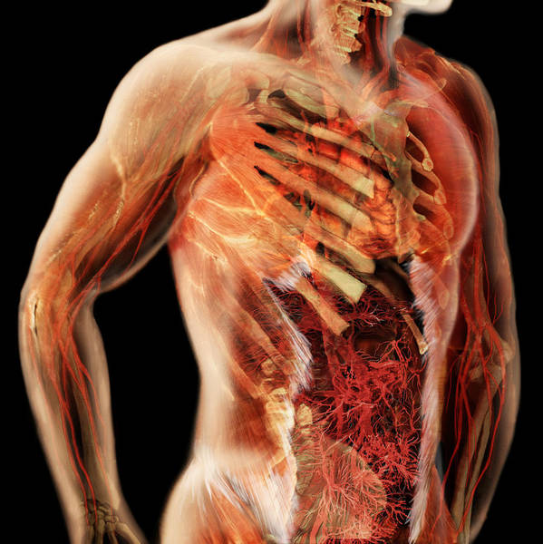 Wall Art - Photograph - Cardiovascular System, Male Torso by Anatomical Travelogue