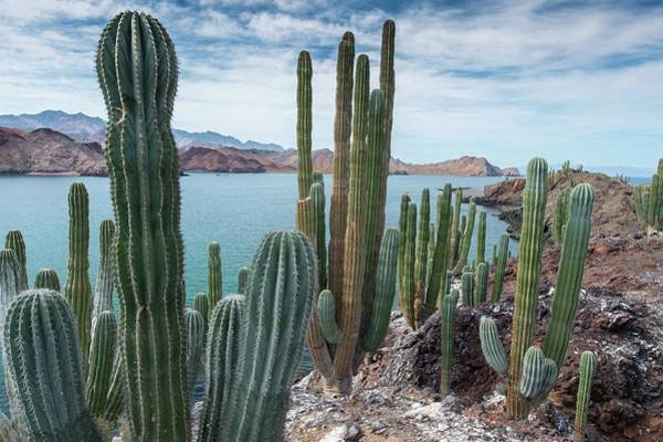 Adapted Photograph - Cardon Cacti (pachycereus Pringlei) by Christopher Swann