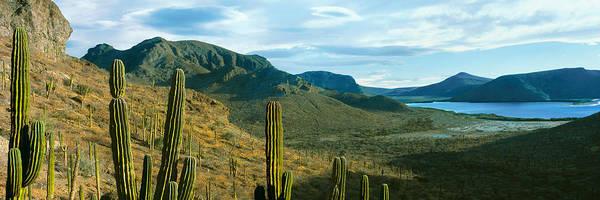 Baja California Peninsula Wall Art - Photograph - Cardon Cactus Plants At Hillside by Panoramic Images