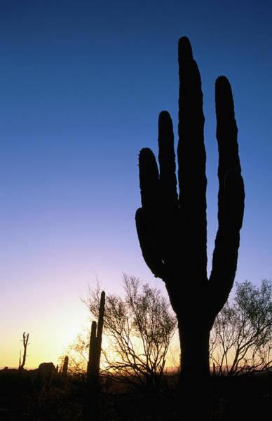 Silhouette Photograph - Cardon Cactus Silhouette by John Elk