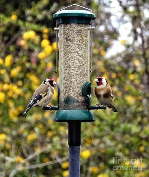 Photograph - Carduelis Carduelis 'goldfinch' by Vix Edwards