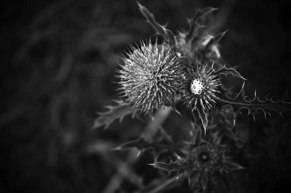 Thistle Photograph - Carduus by Matthew Blum