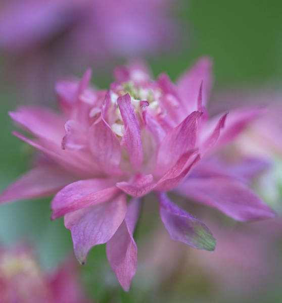 Wall Art - Photograph - Carefree Columbine by Angie Vogel