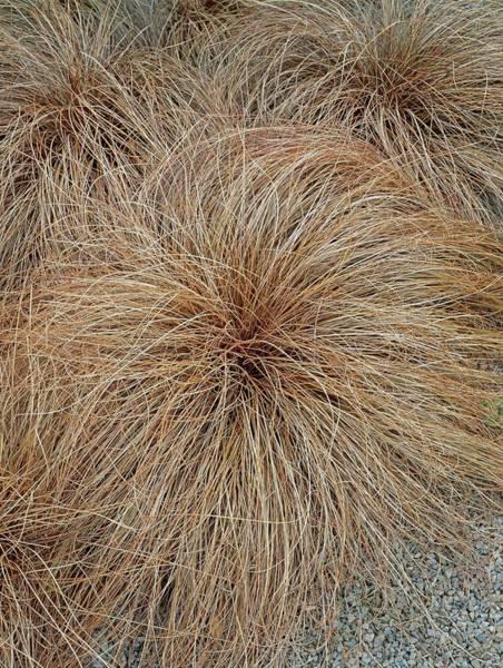 Bronze Leaf Wall Art - Photograph - Carex Flagellifera by Geoff Kidd/science Photo Library