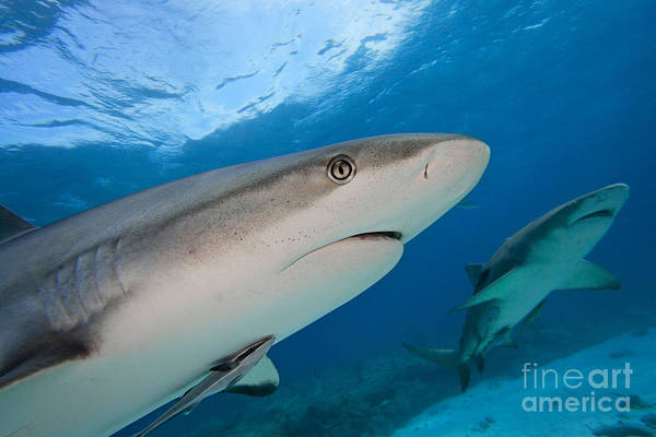 Carcharhinidae Photograph - Caribbean Gray Reef Shark by David Fleetham