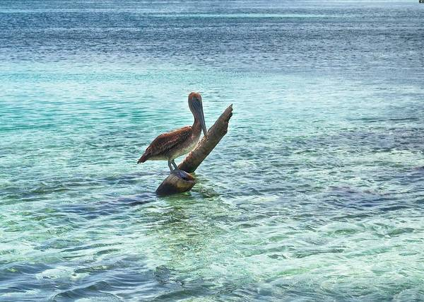 Ambergris Caye Photograph - Caribbean Pelican I by Kristina Deane