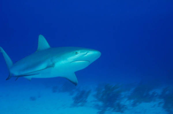 Wall Art - Photograph - Caribbean Reef Shark by F. Stuart Westmorland