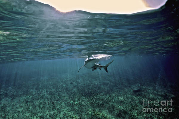 Carcharhinidae Photograph - Caribbean Reef Shark, Grand Cay, The by Amanda Nicholls