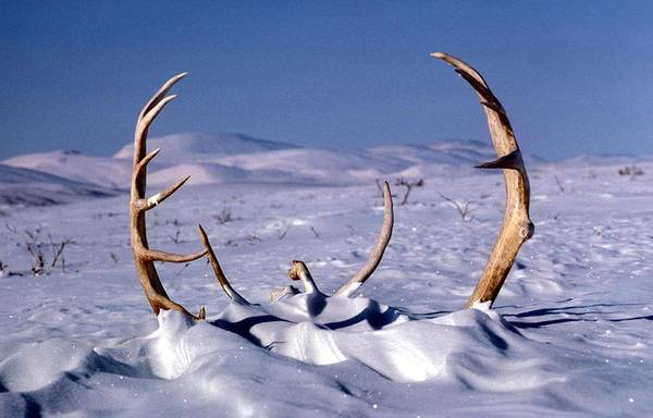 The Canadian Photograph - Caribou Antlers In The Snow by Adam Shaw