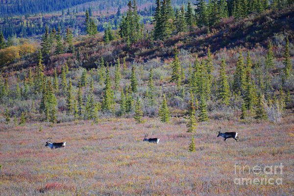 Art Print featuring the photograph Caribou In Alaska by Kate Avery