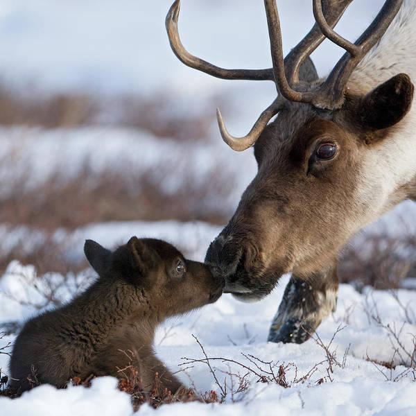 Kamchatka Photograph - Caribou Mother Nuzzling Calf by Sergey Gorshkov