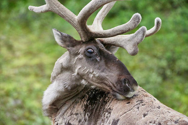 Molting Wall Art - Photograph - Caribou On Denali Park Road by Michelle Theall