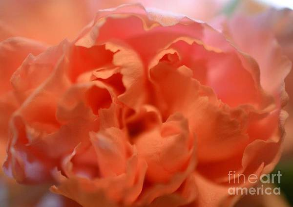 Photograph - Carnation Burst by Denise Tomasura