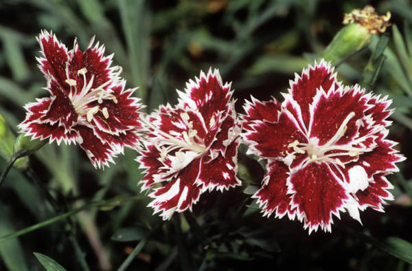Carnation Photograph - Carnation Flowers by M F Merlet/science Photo Library