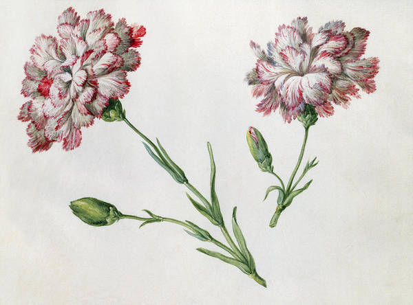 Bulb Drawing - Carnations by Claude Aubriet