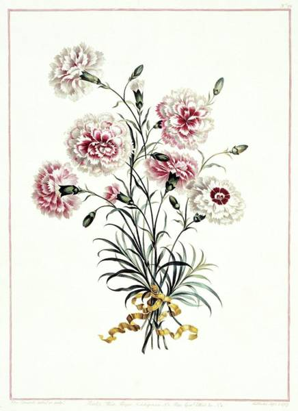 Wall Art - Photograph - Carnations Dianthus Sp by Natural History Museum, London/science Photo Library