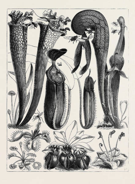 Carnivorous Drawing - Carnivorous Plants In The Royal Botanic Gardens by English School
