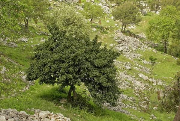 Wall Art - Photograph - Carob Tree (ceratonia Siliqua) by Bob Gibbons/science Photo Library