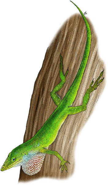 Green Anole Photograph - Carolina Anole by Roger Hall