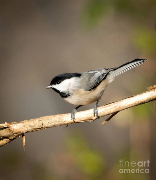Radford Photograph - Carolina Chickadee  by Kerri Farley