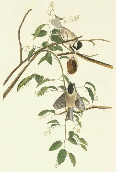 Aquatint Photograph - Carolina Chickadee by Natural History Museum, London/science Photo Library